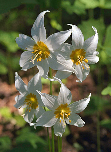 Wildflowers Of The Northwest Avalanche Lily